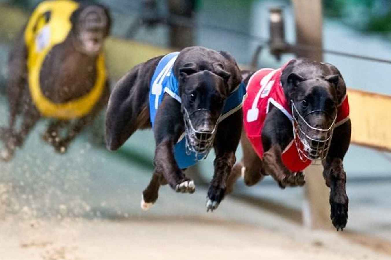 Plastic Bag Stops Greyhound Race