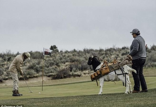 Golfers can now have goats as caddies