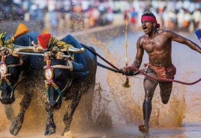 Indian buffalo racer being compared to Usain Bolt
